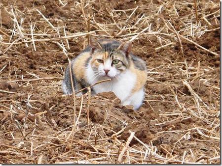 חתולים בשדה חרציות שיבש (3)