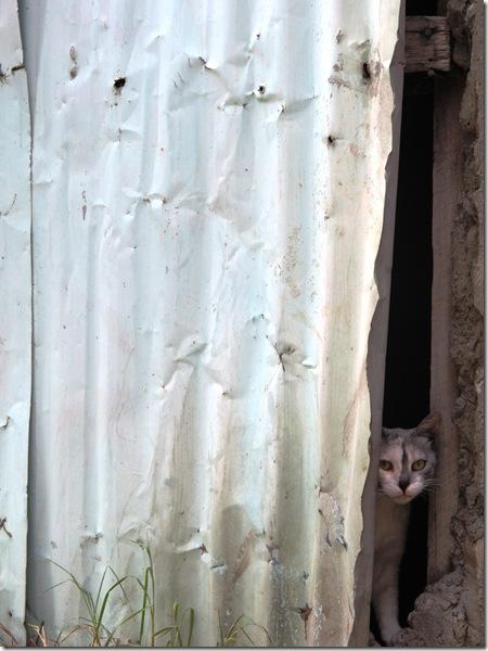 חתול מציץ מתוך סדק (3)