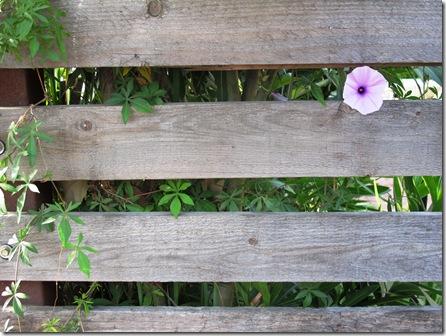 פרח מציץ מגדר (4)