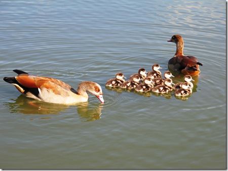 אווזים עם אפרוחים