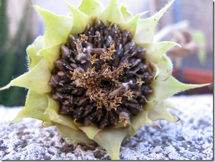 זרעי חמניה על הגג