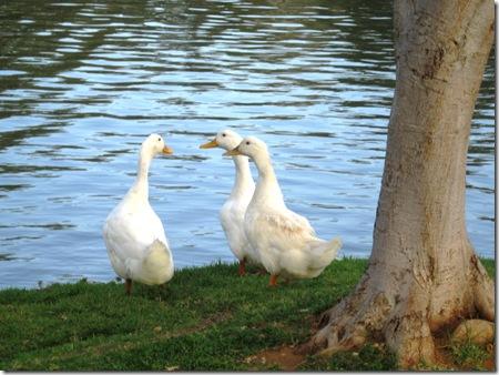 אווזים ליד האגם