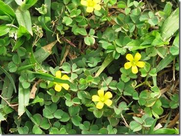 צמח צהוב בדשא (1)
