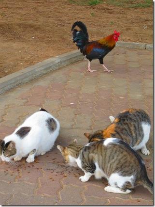 תרנגול וחתולים (2)