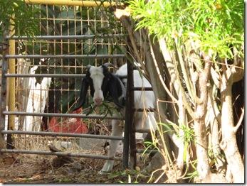 עיזים בשכונה (2)
