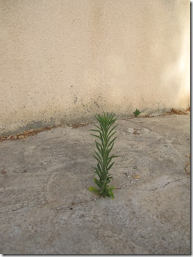 צומח בין אריחי בטון (3)