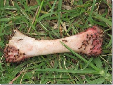 עצם עם נמלים