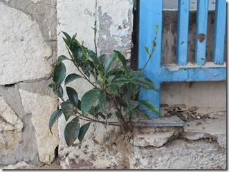 פיקוס גדל בקיר