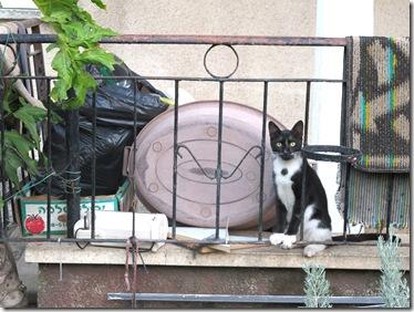 חתול גדר (2)
