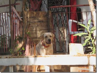 כלב בחצר אחורית (2)