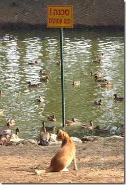 ברווזים ושלט אזהרה 1