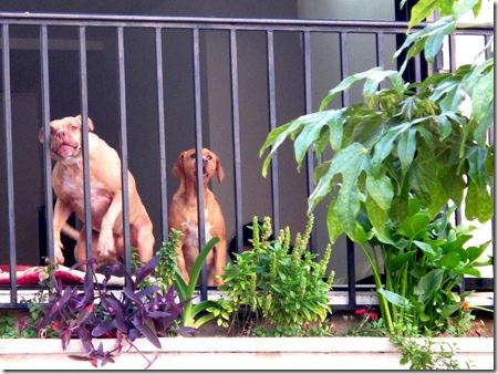 כלבים נובחים בחלון