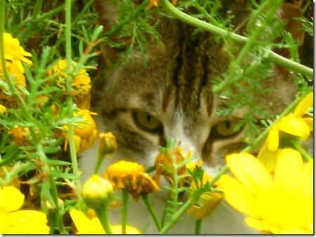 חתול מסתתר בין חרציות