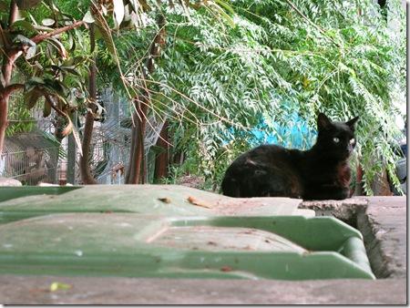 חתול אשפתות שחור