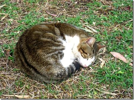 חתול מכורבל