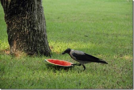 עורבים אוכלים אבטיח בפארק 11