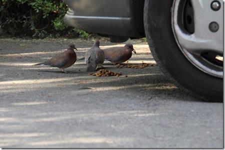 יונים אוכלות אוכל של חתולים על יד גלגל מכונית