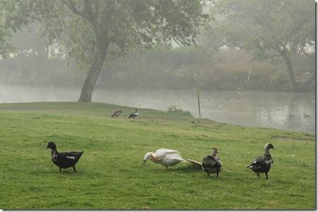 _MG_0032 ברווזים ונוף ערפילי בפארק