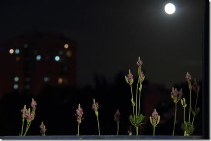 _MG_0037  ירח מלא ולבנדר בחלון המטבח